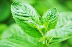 Крупный план предпосылки лист свежей мяты Стоковые Фото