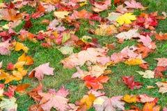 крупный план предпосылки осени красит красный цвет листьев плюща померанцовый выходит красный цвет клена Стоковая Фотография RF