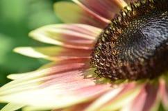 Крупный план придавать солнцецвета клубники белокурый стоковое фото rf