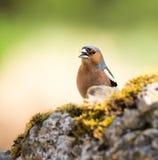 Крупный план птицы зяблика Стоковое Изображение