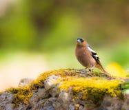Крупный план птицы зяблика Стоковое Фото