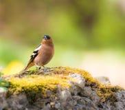 Крупный план птицы зяблика Стоковое фото RF