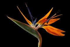 Цветок Strelitzia Стоковая Фотография