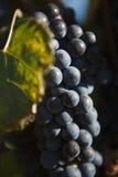 Крупный план пука виноградин красного вина Стоковое Изображение