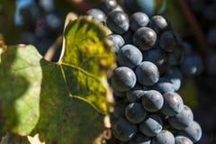 Крупный план пука виноградин красного вина Стоковые Фото