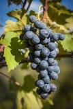 Крупный план пука виноградин красного вина Стоковое Фото