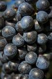 Крупный план пука виноградин красного вина Стоковые Изображения RF