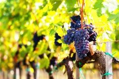 Крупный план пука красных виноградин зрелых на лозе Стоковая Фотография