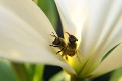 Крупный план 2 пчел в одном цветении дневним светом Стоковые Фотографии RF
