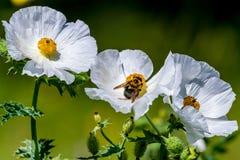Крупный план пчелы на белом цветении Wildflower шиповатого мака внутри Стоковые Фото