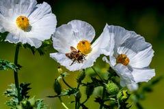 Крупный план пчелы на белом цветении Wildflower шиповатого мака внутри Стоковая Фотография RF
