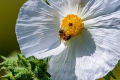 Крупный план пчелы на белом цветении Wildflower шиповатого мака внутри Стоковое Изображение RF