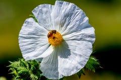 Крупный план пчелы на белом цветении Wildflower шиповатого мака внутри Стоковые Изображения RF
