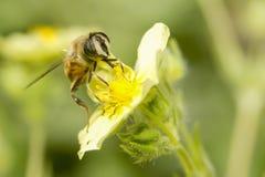 Крупный план пчелы на желтом цветке Стоковые Фотографии RF
