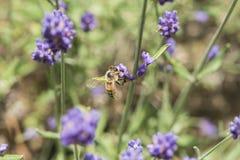 Крупный план пчелы на цветке лаванды Стоковые Изображения