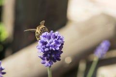 Крупный план пчелы на цветке лаванды Стоковое Фото