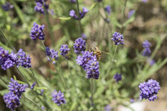 Крупный план пчелы на цветке лаванды Стоковое Изображение RF