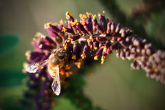 Крупный план пчелы на цветке Стоковые Изображения RF