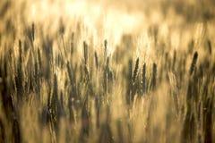Крупный план пшеничного поля Стоковое Изображение
