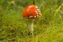 Крупный план пластинчатого гриба мухы Стоковое Изображение