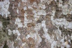 Крупный план плоского дерева, предпосылка acerifolia платана Стоковая Фотография