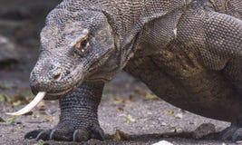 Крупный план дракона Komodo со своим языком вне Стоковая Фотография RF