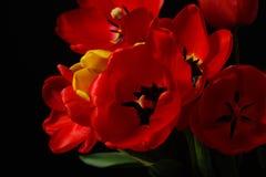 Крупный план раскрытого букета красных тюльпанов и желтеет одно на черноте Стоковое Изображение RF