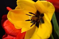 Крупный план раскрытого букета красных тюльпанов и желтеет одно на черноте Стоковое фото RF