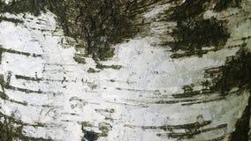 Крупный план расшивы березы Стоковое фото RF