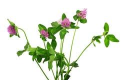 Крупный план розового изолированного цветка клевера Стоковая Фотография