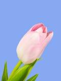 Крупный план розового цветения тюльпана изолированного на голубой предпосылке Стоковое фото RF