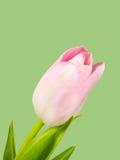 Крупный план розового цветения тюльпана изолированного на зеленой предпосылке Стоковые Фотографии RF