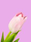 Крупный план розового цветения тюльпана изолированного на розовой предпосылке Стоковая Фотография