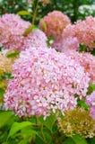 Крупный план розового цветка гортензии в саде Взгляд крупного плана розового цветка гортензии Стоковое Изображение