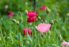 Крупный план розового цветка мака. Стоковое Фото