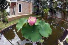 Крупный план розового цветка лотоса в бассейне в саде Стоковые Изображения