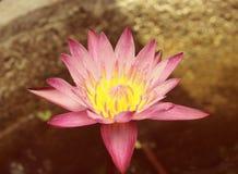 Крупный план розового цветка лотоса Стоковые Изображения RF