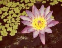 Крупный план розового цветка лотоса Стоковое Изображение