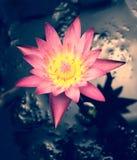 Крупный план розового цветка лотоса Стоковое фото RF
