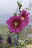 Крупный план розовое HollyhockAlcea Rosea Стоковые Изображения RF