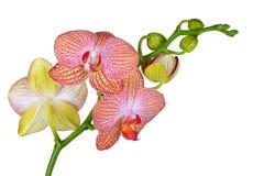 Крупный план розовой орхидеи стоковые фотографии rf