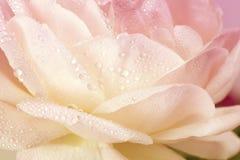 Крупный план розовых лепестков. Карточка праздника дня Валентайн Стоковые Фотографии RF