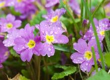 Крупный план росы Primula Стоковые Фото