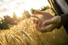 Крупный план рук бизнесмена придавая форму чашки зрелое ухо пшеницы Стоковое Изображение