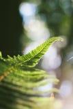 Крупный план свежих fronds папоротника на запачканной предпосылке Стоковые Изображения RF