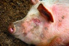 Крупный план свиньи спать Стоковые Фотографии RF