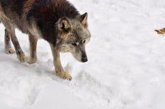 Крупный план серого волка идя через снежный лес Стоковые Фото