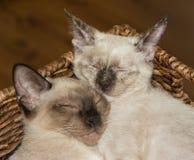 Крупный план 2 сиамских котят snuggling вверх, уснувший Стоковая Фотография RF