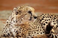 Крупный план сидя гепарда Стоковые Фото