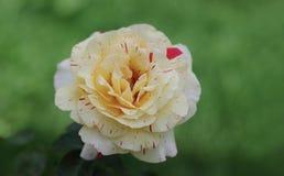 Крупный план сметанообразного цветения розы желтого цвета с красными нашивками Стоковое Фото